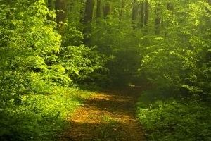 Image of a path through a forest